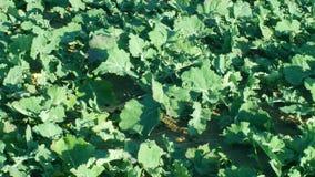 Detalle del invierno de la brassica de la violación de semilla oleaginosa para el campo verde del pajote de la fertilización y nu metrajes