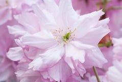 Detalle del jardín de la primavera del flor de la floración de la flor del rosa del cerezo de Japón del chino de Sakura Fotos de archivo libres de regalías