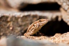 Detalle del lagarto Foto de archivo libre de regalías