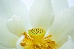 Detalle del loto blanco Fotografía de archivo libre de regalías