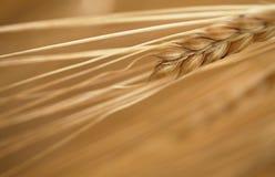 Detalle del maíz Foto de archivo libre de regalías