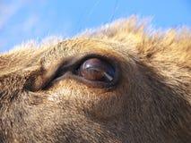 Detalle del ojo de los ciervos rojos Imagen de archivo libre de regalías
