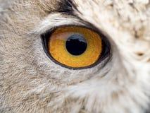 Detalle del ojo de un bubón del bubón del búho Imágenes de archivo libres de regalías