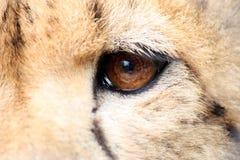 Detalle del ojo del guepardo Fotos de archivo libres de regalías