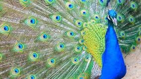 Detalle del pavo real almacen de metraje de vídeo