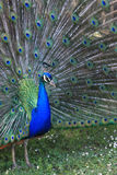 Detalle del pavo real hermoso en esplendor completo Imagen de archivo libre de regalías