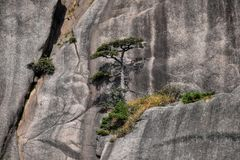 Detalle del pequeño árbol de pino de Huangshan que crece de las rocas en Huangshan, montañas amarillas, provincia de Anhui, China Imágenes de archivo libres de regalías