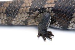 Detalle del pie del lagarto de la lengüeta azul Imagenes de archivo