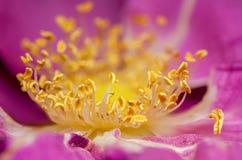 Detalle del pistil amarillo de las rosas Fotografía de archivo