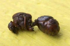 Detalle del primer de la hormiga asada comestible Imagen de archivo