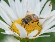 Detalle del primer de los apis de una abeja de la miel que recoge el polen en d blanca Foto de archivo libre de regalías