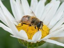 Detalle del primer de los apis de una abeja de la miel que recoge el polen en d blanca Imagenes de archivo