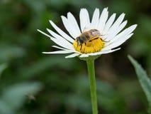 Detalle del primer de los apis de una abeja de la miel que recoge el polen en d blanca Foto de archivo
