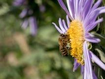 Detalle del primer de los apis de una abeja de la miel que recoge el polen en el astra f Fotografía de archivo libre de regalías