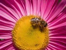 Detalle del primer de los apis de una abeja de la miel que recoge el polen en el astra f Fotografía de archivo