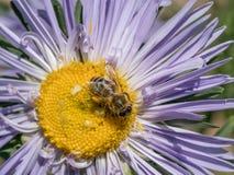 Detalle del primer de los apis de una abeja de la miel que recoge el polen en el astra f Imágenes de archivo libres de regalías