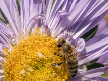 Detalle del primer de los apis de una abeja de la miel que recoge el polen en el astra f Imagenes de archivo
