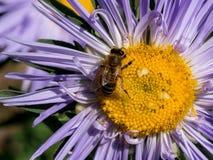 Detalle del primer de los apis de una abeja de la miel que recoge el polen en el astra f Imagen de archivo