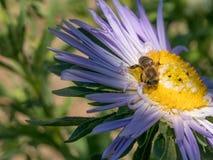 Detalle del primer de los apis de una abeja de la miel que recoge el polen en el astra f Foto de archivo libre de regalías