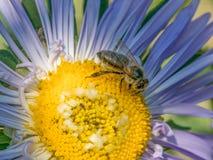 Detalle del primer de los apis de una abeja de la miel que recoge el polen en el astra f Fotos de archivo