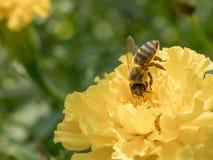 Detalle del primer de los apis de una abeja de la miel que recoge el polen en amarillo Fotos de archivo libres de regalías