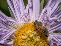 Detalle del primer de los apis de una abeja de la miel que recoge el polen en el astra f Fotos de archivo libres de regalías