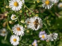 Detalle del primer de los apis de una abeja de la miel que recoge el polen en d blanca Fotos de archivo libres de regalías
