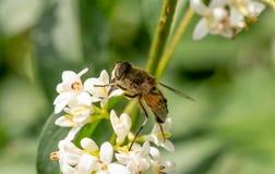 Detalle del primer de los apis de una abeja de la miel que recoge el polen en la flor Imágenes de archivo libres de regalías