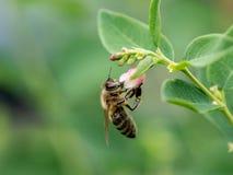 Detalle del primer de los apis de una abeja de la miel que recoge el polen en la flor Foto de archivo