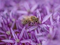 Detalle del primer de los apis de una abeja de la miel que recoge el polen en la flor Fotografía de archivo libre de regalías