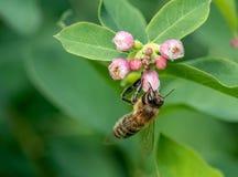 Detalle del primer de los apis de una abeja de la miel que recoge el polen en la flor Imagen de archivo libre de regalías