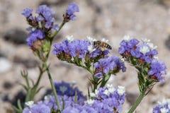 Detalle del primer de los apis de una abeja de la miel que recoge el polen en la flor Fotos de archivo libres de regalías