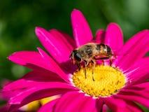 Detalle del primer de los apis de una abeja de la miel que recoge el polen en la flor Imagenes de archivo
