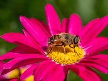 Detalle del primer de los apis de una abeja de la miel que recoge el polen en la flor Foto de archivo libre de regalías