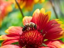 Detalle del primer de los apis de una abeja de la miel que recoge el polen en la flor Fotos de archivo