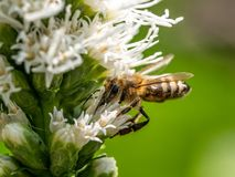 Detalle del primer de los apis de una abeja de la miel que recoge el polen en la flor Fotografía de archivo