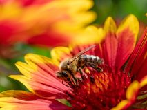 Detalle del primer de los apis de una abeja de la miel que recoge el polen en la flor Imagen de archivo