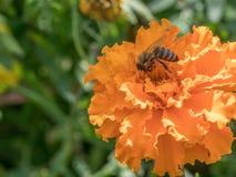 Detalle del primer de los apis de una abeja de la miel que recoge el polen en naranja Imagen de archivo