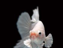 Detalle del primer de los pescados que luchan de Siamess Foto de archivo