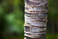 Detalle del primer del tronco de palmera Foto de archivo libre de regalías