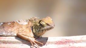Detalle del primer del lagarto del jardín de Agamid del lagarto que toma el sol almacen de video