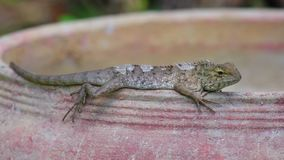 Detalle del primer del lagarto del jardín de Agamid del lagarto que toma el sol almacen de metraje de vídeo