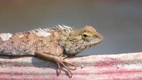 Detalle del primer del lagarto oriental del jardín que toma el sol metrajes