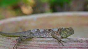 Detalle del primer del lagarto oriental del jardín del lagarto que toma el sol metrajes