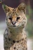 Detalle del serval Fotos de archivo