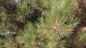 Detalle del topetón de las vacaciones de verano del bosque de la rama de árbol de navidad metrajes
