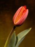 Detalle del tulipán Fotos de archivo