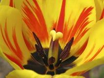 Detalle del tulipán Fotografía de archivo libre de regalías