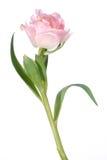 Detalle del tulipán de la flor y aislado Fotos de archivo
