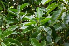 Detalle del verde de la textura de las hojas de los ficus Fondo de los ficus Fotografía de archivo libre de regalías